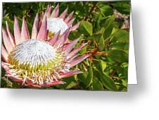 Pink King Protea Flowers Greeting Card
