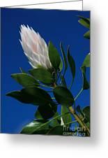 Pink King Protea Kula Maui Hawaii Greeting Card