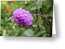 Pink Lavender Dahlia Greeting Card