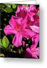 Pink Lilies Blooming Greeting Card