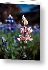 Pink Lupine Figueroa Mountain Greeting Card