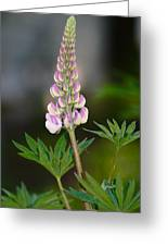 Pink Lupine Greeting Card