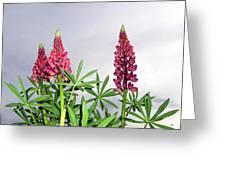 Pink Lupins Greeting Card