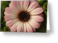 Pink Osteospermum Greeting Card