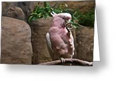 Pink Parrot Nibbling Foot Greeting Card