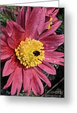 Pink Pasque Flower Greeting Card
