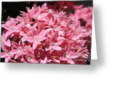 Pink Pentas Beauties Greeting Card