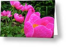 Pink Peonies Greeting Card