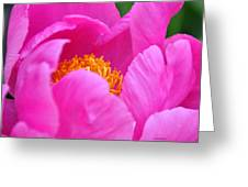Pink Peony In Evening Greeting Card