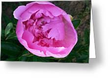 Pink Peoony In Bloom Greeting Card