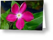 Pink Periwinkle Flower 1 Greeting Card