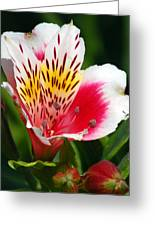 Pink Peruvian Lily 1 Greeting Card