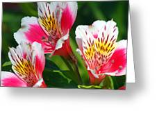Pink Peruvian Lily 2 Greeting Card