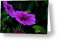 Pink Petunia, Dusk, Hunter Hill, Hagerstown, Maryland, July 25,  Greeting Card