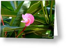Pink Plumeria In Bloom Greeting Card
