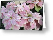 Pink Poinsettias Greeting Card