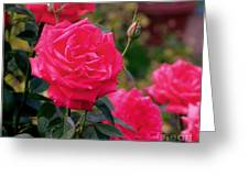 Pink Rose And Bud Greeting Card