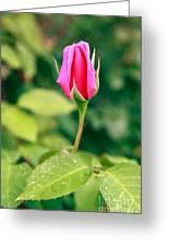 Pink Rose Bud Greeting Card