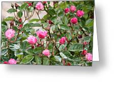 Pink Rose Buds Greeting Card