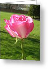 Pink Rose In The Sunlight Greeting Card