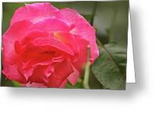 Pink Rose Greeting Card by Kelly Hazel