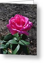 Pink Rose Greeting Card by Luke Moore