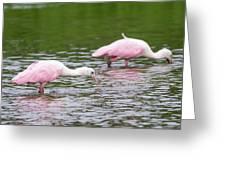 Pink Roseate Spoonbills Feeding Greeting Card