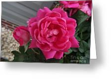 Pink Roses 2 Greeting Card