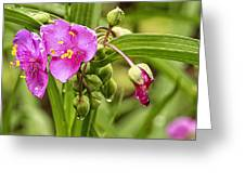 Pink Spiderwort Drip Drops Greeting Card