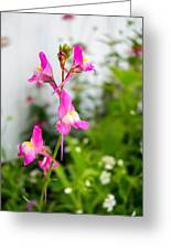 Pink Toadflax Greeting Card