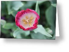 Pink Tulip Top View Greeting Card