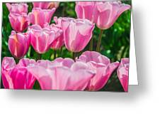 Pink Tulips Aglow Greeting Card