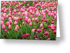 Pink Tulips At Floriade In Canberra, Australia Greeting Card