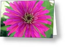 Pink Zinnia In Florida Greeting Card