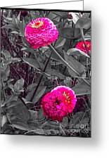 Pink Zinnias Against Grey Background Greeting Card