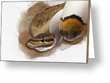 Pinstripe Pied Royal Python 01 Greeting Card