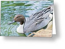 Pintail Portrait Greeting Card