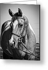 Pinto Pony Portrait Black And White Greeting Card