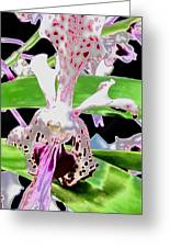 Pisgah Versicolor Greeting Card