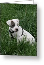 Pit Bull Puppy 5 White With Patch Greeting Card