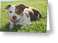 Pitbull In The Sun Greeting Card