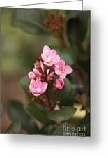 Pittosporum Pink 2 Greeting Card