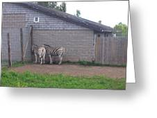 Plains Zebras In The Corner Greeting Card