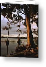 Plantation Gardens, Cypress Trees Greeting Card