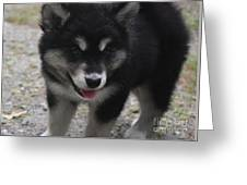 Playful Alusky Puppy Dog Ready To Pounce Greeting Card
