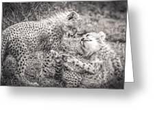 Playtime In Africa- Cheetah Cubs Acinonyx Jubatus Greeting Card
