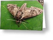 Plebeian Sphinx Moth Greeting Card