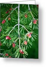 Plentiful Pine Greeting Card
