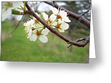 Plum Blossoms In Spring Greeting Card