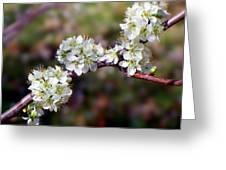 Plum Tree Blossoms Greeting Card